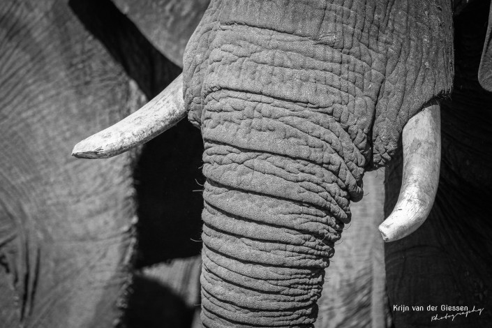 Olifant zwart wit 1 copyright by Krijn van der Giessen Photography
