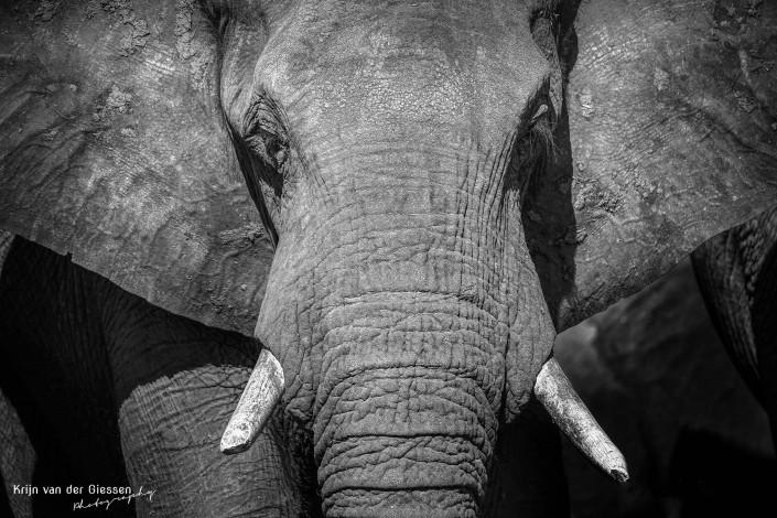Olifant zwart wit 4 copyright by Krijn van der Giessen Photography