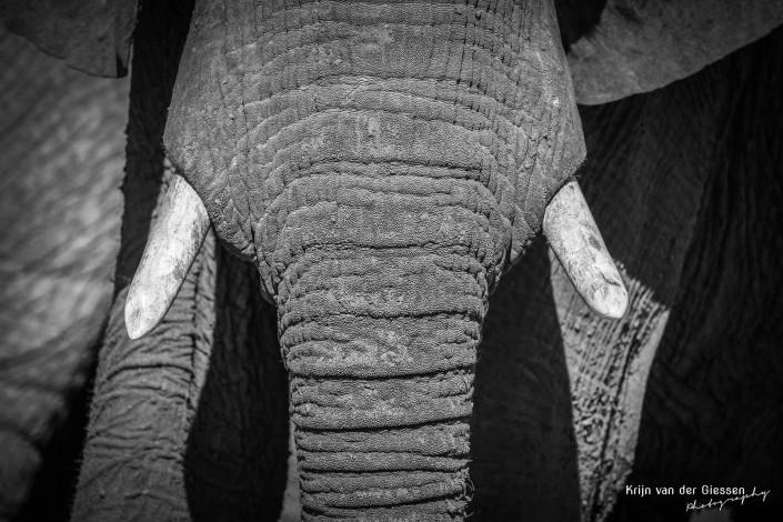 Olifant zwart wit 5 copyright by Krijn van der Giessen Photography