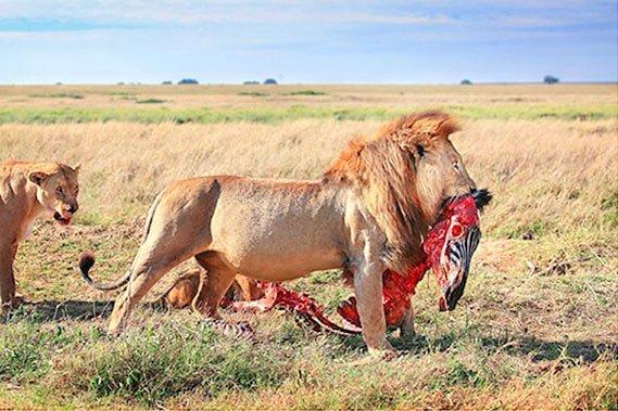 Lion with Zebra