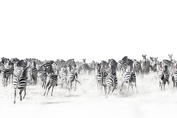 Zebras in Black White Serengeti by Krijn van der Giessen Photography