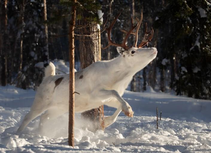 Jumping white reindeer with massive antlers in Sweden Lapland Copyright by Krijn van der Giessen Photography