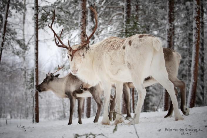 White reindeer with massive antlers Snow crystals on branch in Sweden Lapland Copyright by Krijn van der Giessen Photography