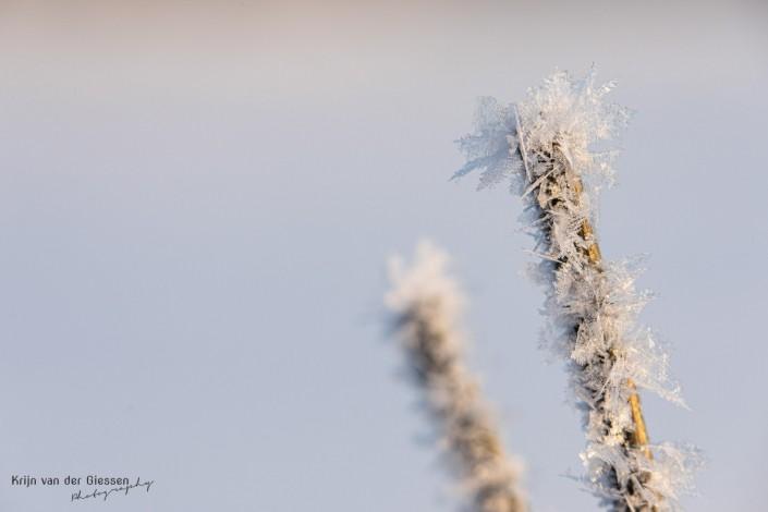 Snow crystals on branch in Sweden Lapland Copyright by Krijn van der Giessen Photography