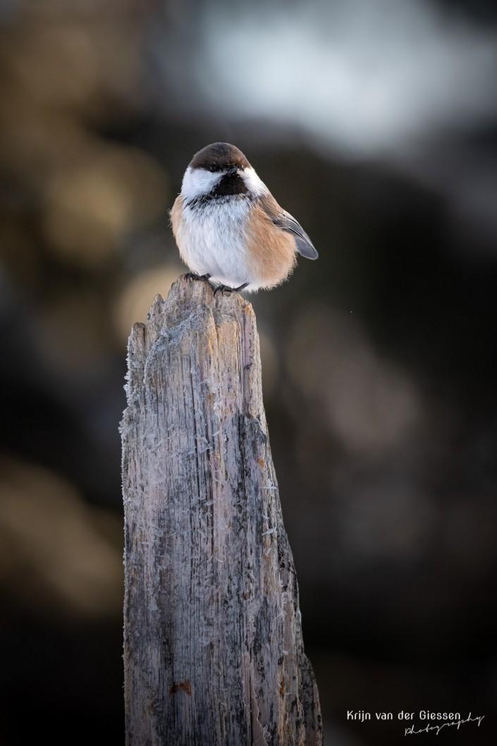 brown-headed tit in sunlight in Sweden Lapland copyright by Krijn van der Giessen Photography