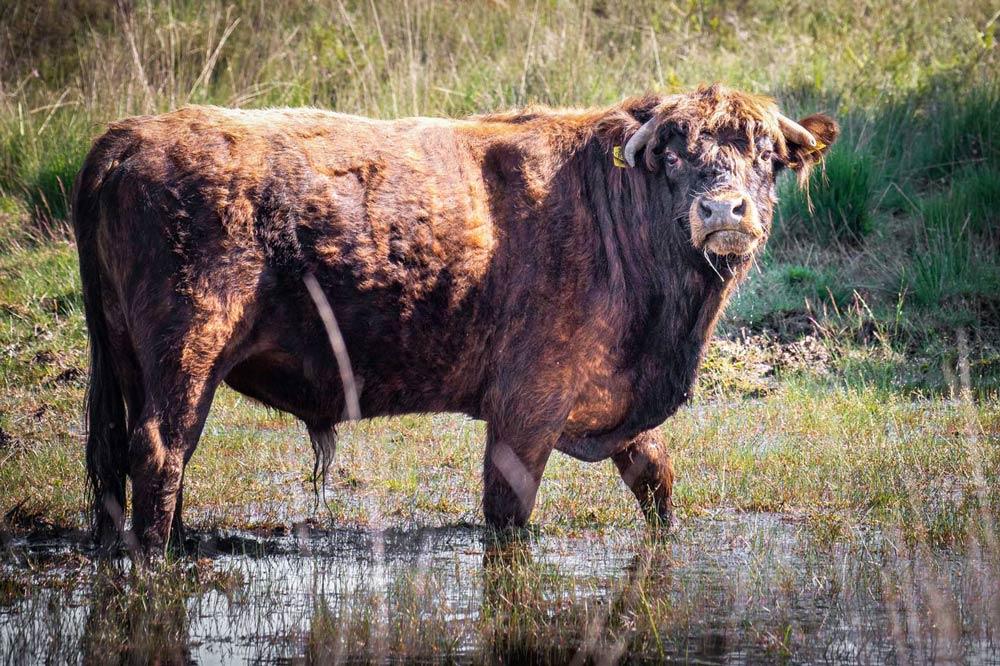 Schotse Hooglander oeros in Water in Ganzenpoel Drents-Friese Wold Drenthe