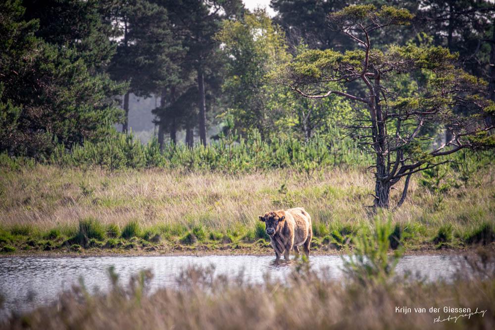 Oeros Schotse Hooglander in water in Drenthe