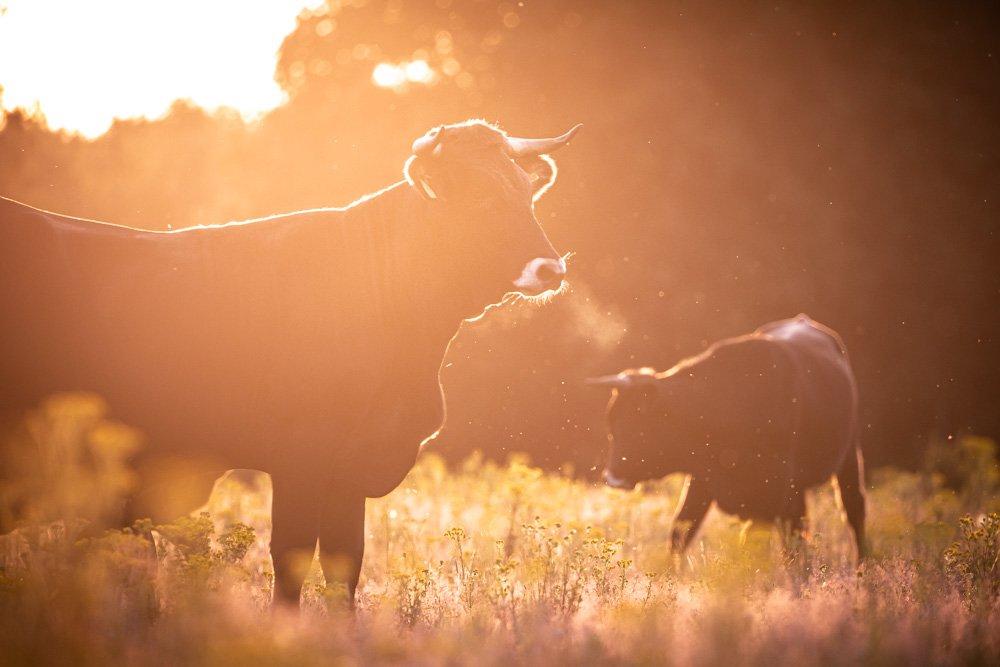 Sayaguesa koe in tegenlicht zonsondergang Drents Friese Wold