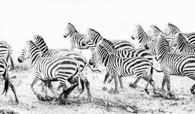 Zebras high key op de Serengeti by Krijn van der Giessen