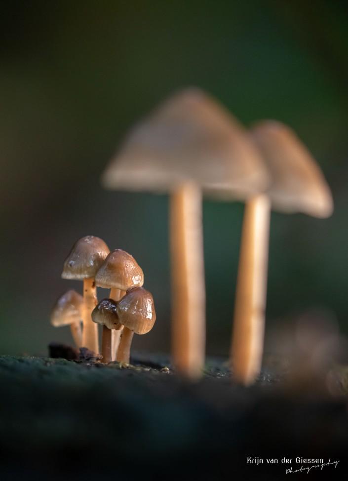 Jonge groep paddenstoelen onder paraplu Krijn van der Giessen Photography