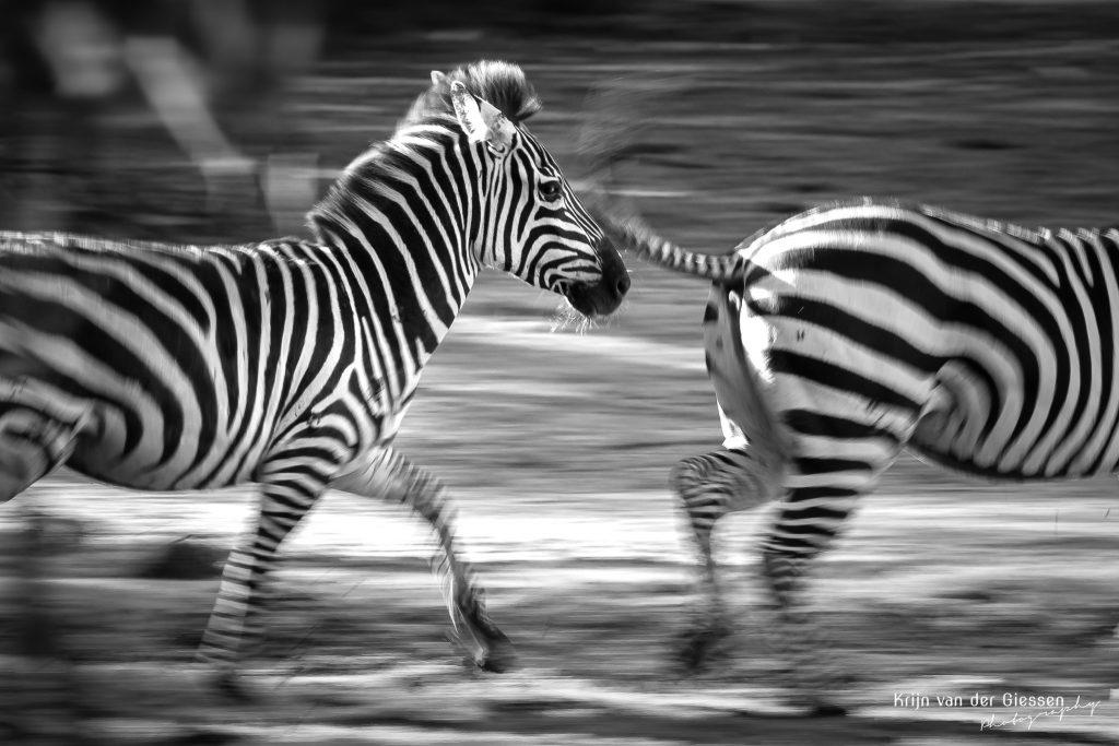 panning zebra